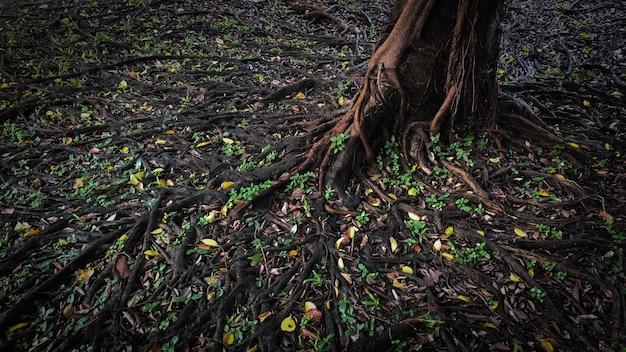 Raíz de un gran árbol