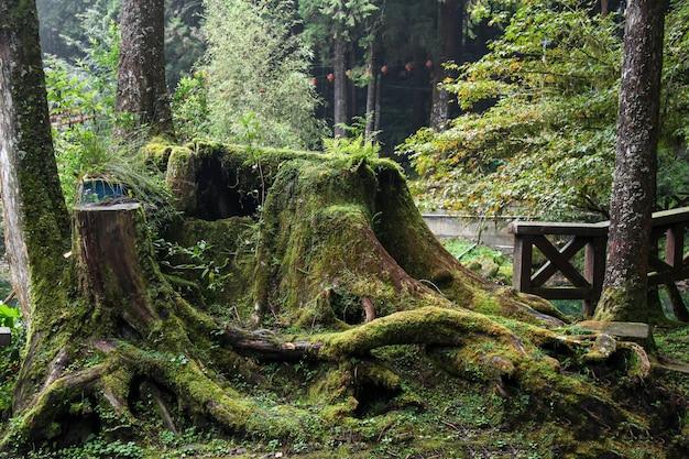 Raíz vieja árbol grande en el área del parque nacional de alishan en taiwán.