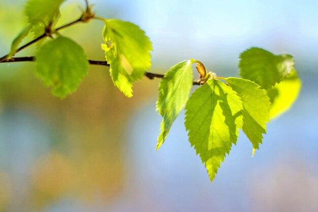 Rama de abedul de primavera con hojas jóvenes contra un cielo azul