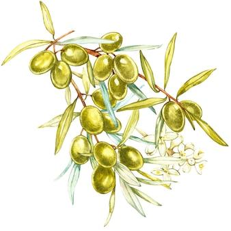Una rama de aceitunas verdes jugosas, maduras y flores sobre un fondo blanco. ilustración botánica de acuarela.