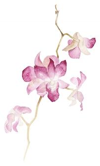 Rama aislada del orhid de la acuarela en el fondo blanco