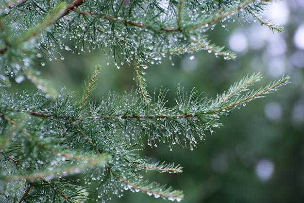 Rama de un árbol conífero con gotas de agua.