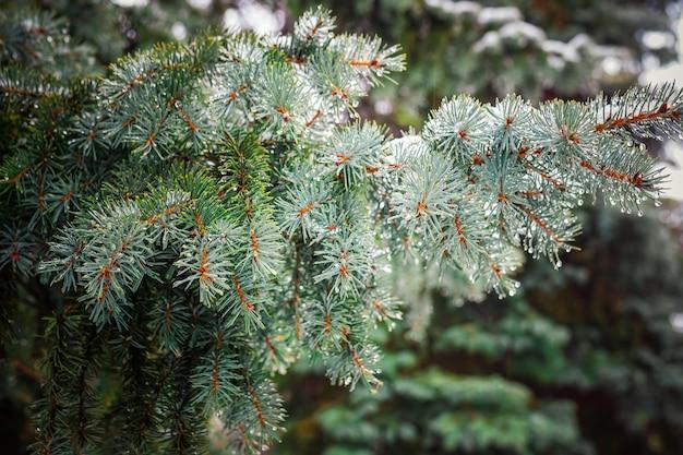 Rama de un árbol conífero