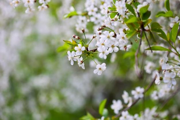 Rama de un árbol en flor