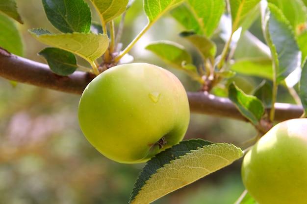 Rama de árbol frutal verde manzana