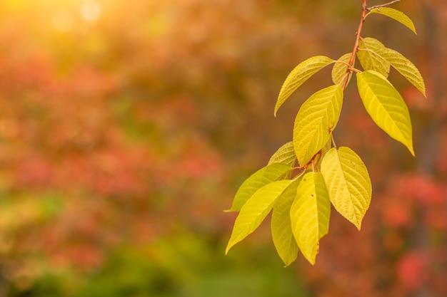 Rama de un árbol con hojas amarillas otoñales