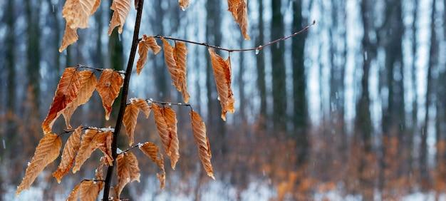 Rama de árbol con hojas secas en invierno durante el deshielo o finales de otoño en tiempo húmedo