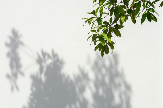 Rama de un árbol y hojas con sombra en un muro de hormigón blanco