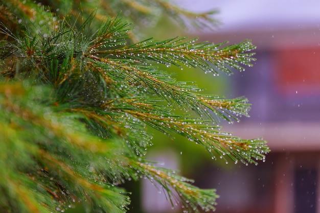 Una rama blanda de un pequeño árbol de pino con gotas del agua en fila después del cierre de la lluvia de primavera para arriba.