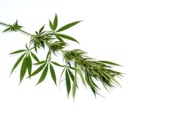 Rama de cannabis con hojas de cinco dedos