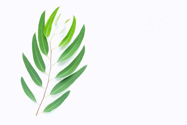 Rama de eucalipto verde sobre blanco