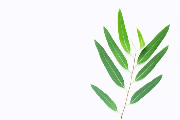 Rama de eucalipto verde sobre fondo blanco.