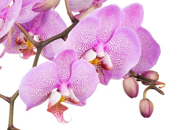 Rama de flor de phalaenopsis púrpura claro aislado sobre fondo blanco de cerca