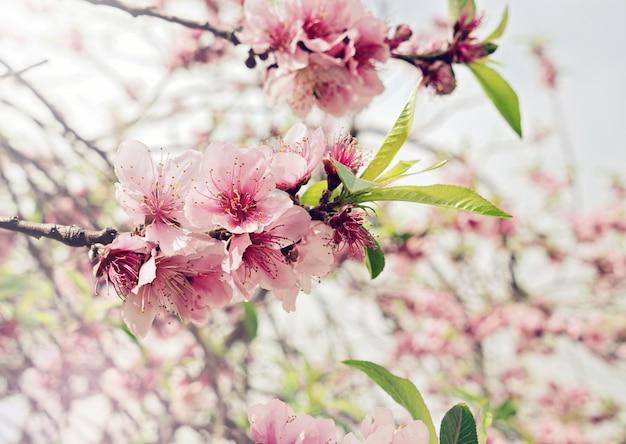 Rama floral de cerezo con capullos y flores rosados.
