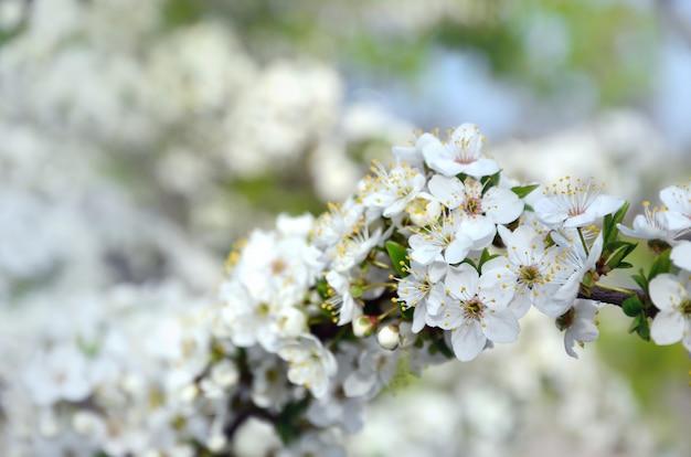 Rama floreciente de albaricoquero. floración temprana de los árboles en abril.