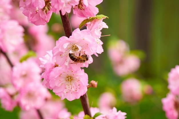 Rama floreciente de flores rosadas con un primer plano de abeja volando.