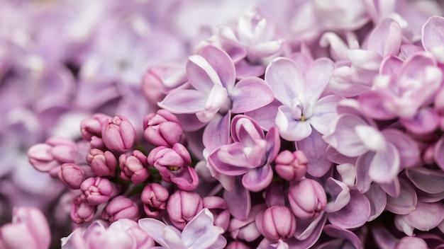 Rama floreciente de terry lila púrpura en primavera