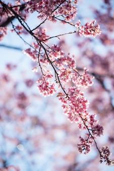 Rama de flores de cerezo en medio de la montaña en primavera hermosa.