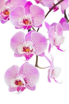 Rama de flores de orquídea rosa cerca aislado sobre fondo blanco.