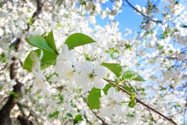 Rama de gran árbol blanco