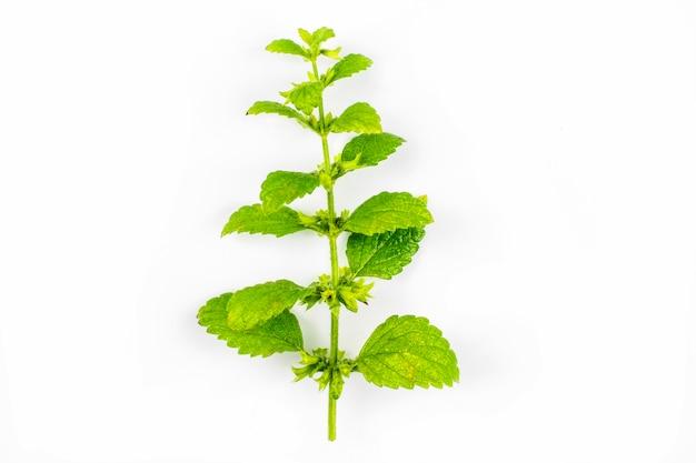 Una rama y hojas verdes de la planta medicinal de melis aislado sobre un fondo blanco.