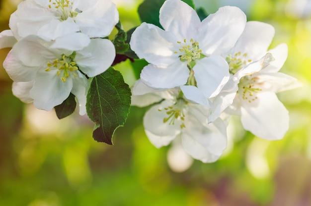 Rama de un manzano floreciente en jardín de primavera