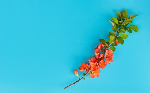 Rama de membrillo japonés en flor sobre un fondo azul.
