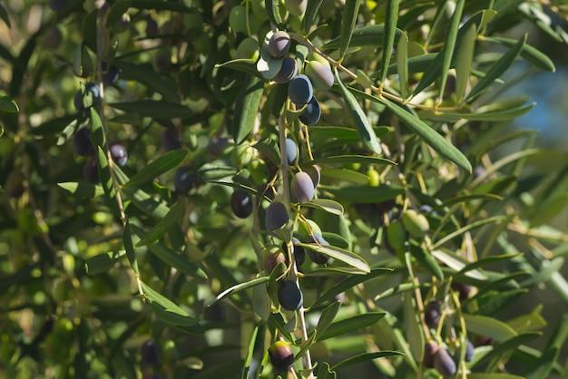 Rama de olivo entrega desde arriba en el jardín de olivos. taggiasca o cultivar cailletier. enfoque selectivo, fondo verde desenfocado.