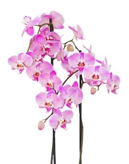 Rama de orquídea rosa con flores y capullos aislado sobre fondo blanco.