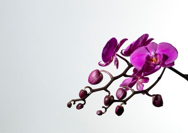 Rama de orquideas moradas