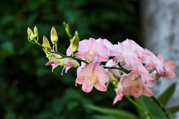 La rama de orquídeas rosadas