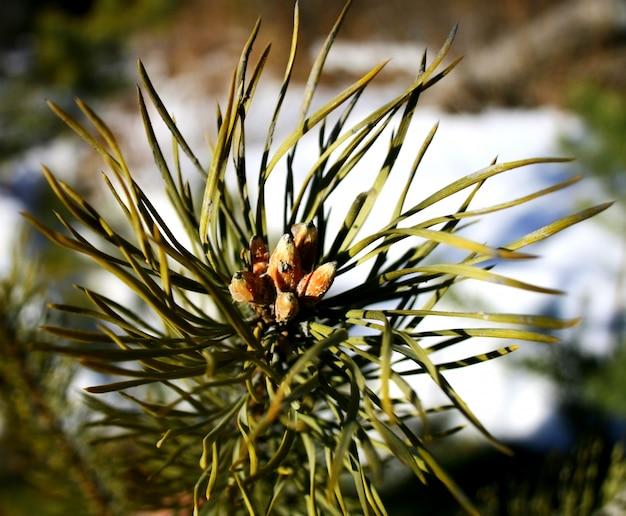 La rama de un pino con agujas y brotes jóvenes de primavera.