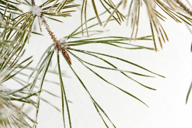 Rama de pino de coníferas