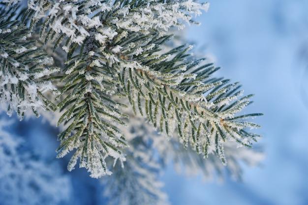 Con rama de pino cubierta de nieve. tarjeta de felicitación de navidad