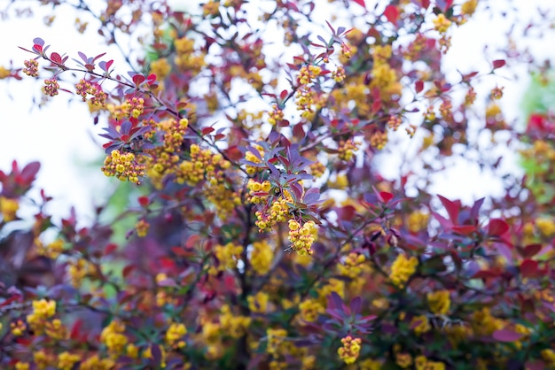 Rama de una primavera floreciente berberis ottawensis superba