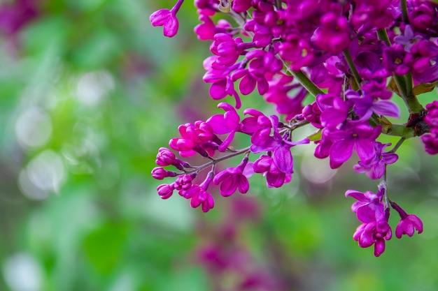 Rama de primavera de flores lilas florecientes en árbol en jardín