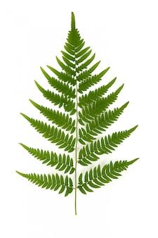 Rama verde del helecho forestal en blanco