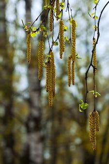 Ramas de abedul de primavera