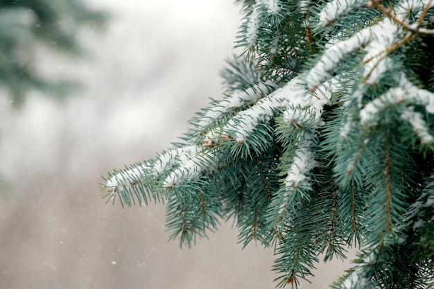 Ramas de abeto cubiertas de nieve durante una nevada