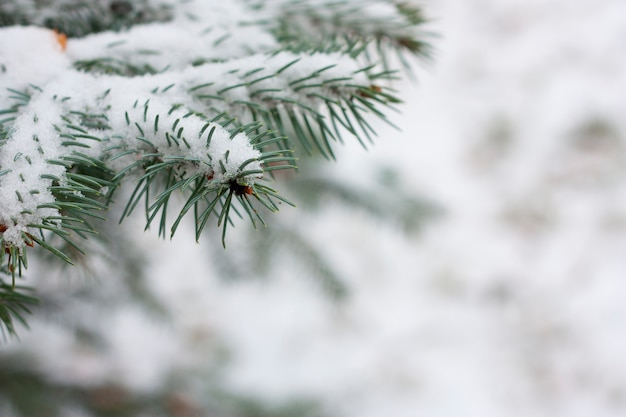 Ramas de abeto con nieve