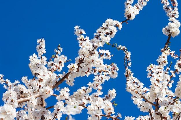 Ramas de albaricoquero en flor contra el cielo azul