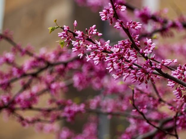 Ramas de árbol canadiense cercis con ramitas de flores rosadas flores de primer plano