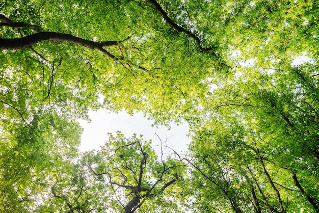 Ramas de los árboles verdes, cielo azul, vista hacia arriba, hermoso fondo natural