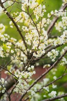 Ramas de un ciruelo floreciente en un fondo del verdor. primavera, naturaleza, concepto floreciente.