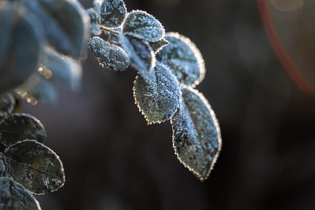 Ramas cubiertas de escarcha. plantas heladas temprano en la mañana en la estación fría.