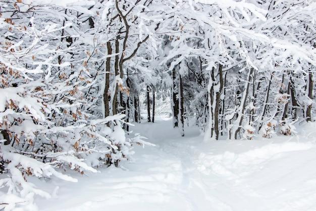 Ramas cubiertas de nieve y un camino bajo los árboles. hermoso invierno blanco como la nieve en el bosque.