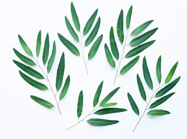 Ramas de eucalipto sobre fondo blanco