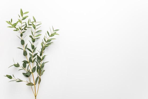 Ramas de eucalipto sobre un fondo blanco