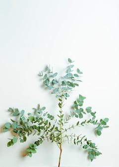 Ramas de eucalipto sobre un fondo blanco.