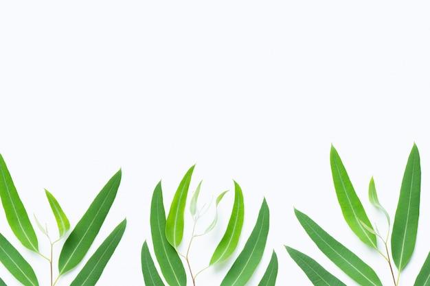 Ramas de eucalipto verde sobre fondo blanco.